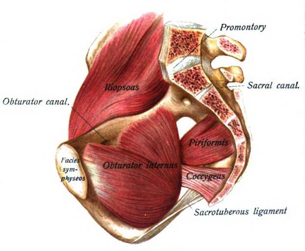 Wonderful ... Including The Gluteus Maximus And The Pelvic Floor Muscles. The Coccyx  Does Not Stay Still When We Move. In Fact, The Coccyx Moves As We Sit And  Moves ...