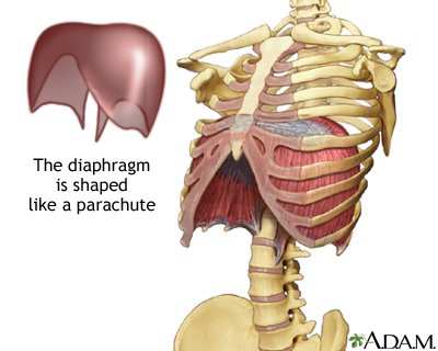 Yoga Anatomy: 6 Reasons Why the Diaphragm May Be the Coolest Muscle ...