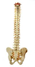 spine-957249_640