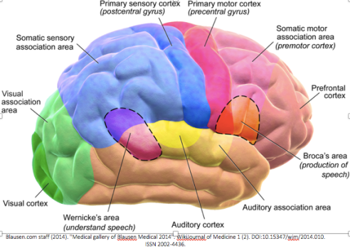 brain areas